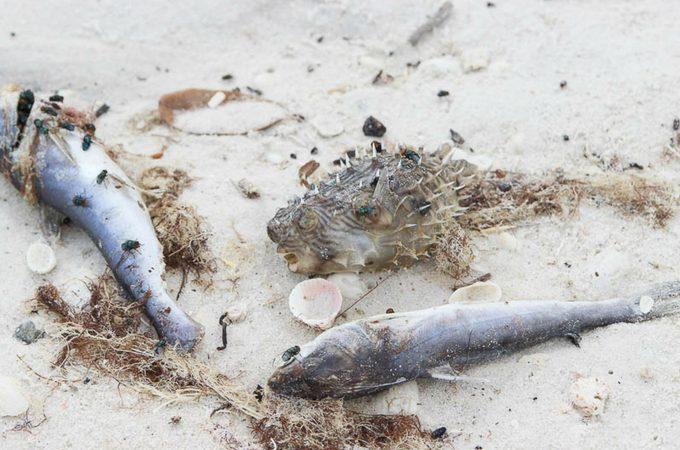 red tide fish kills
