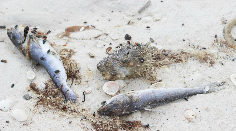 red tide fish kills