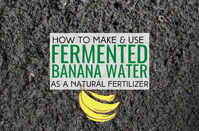Find out how to make and use fermented banana water as a natural fertilizerFind out how to make and use fermented banana water as a natural fertilizer
